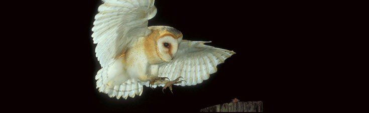 We hold Natural England survey licences for many protected species, including barn owls