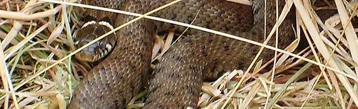 grass snake - reptile survey