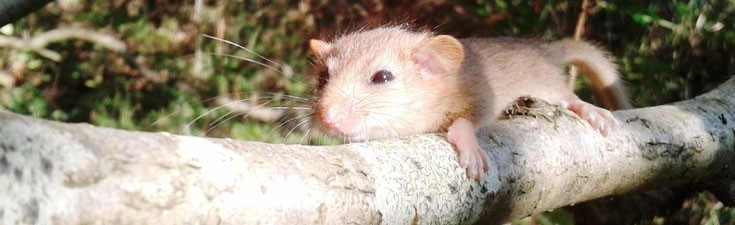 We hold Natural England survey licences for many protected species, including Hazel Dormice