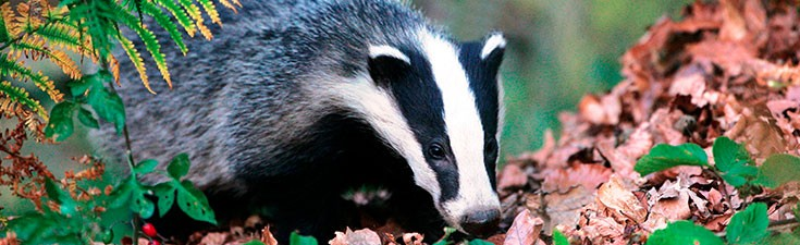 We have held Natural England disturbance licences for badgers