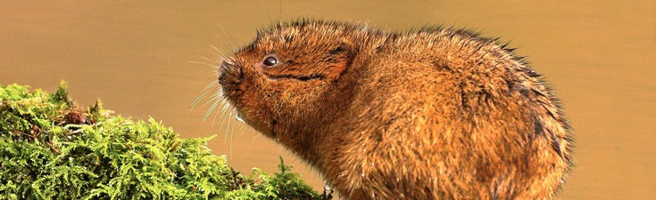 We hold Natural England survey licences for many protected species, including water voles