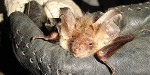 EPS Mitigation Licence for Bats for Building Works at Donington Park Racing Circuit in Leicestershire