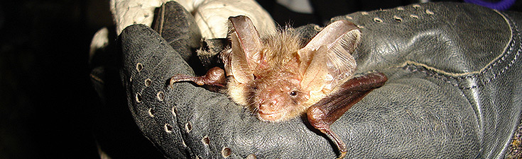 European Protected Species mitigation licence (EPS) application for brown long-eared bats