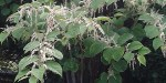 Japanese Knotweed Surveys in Derbyshire, Nottinghamshire, Sheffield and West Midlands