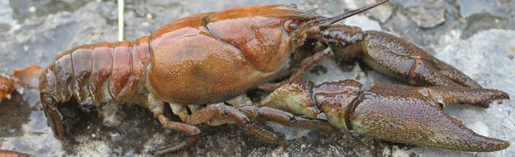 white clawed crayfish mitigation