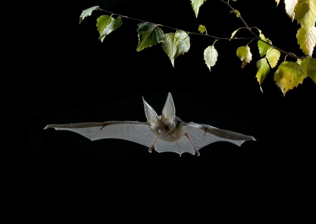 Brown Long-eared Bat - Plecoptus auritus