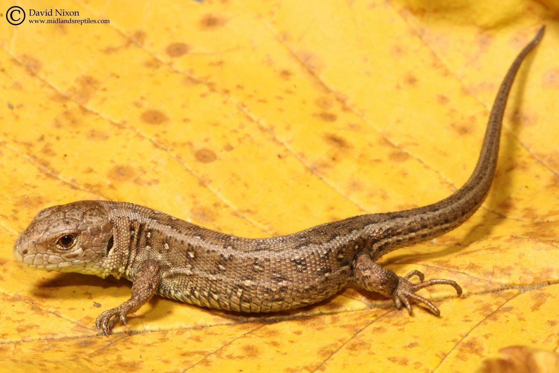 Common Lizard Reptile Surveys