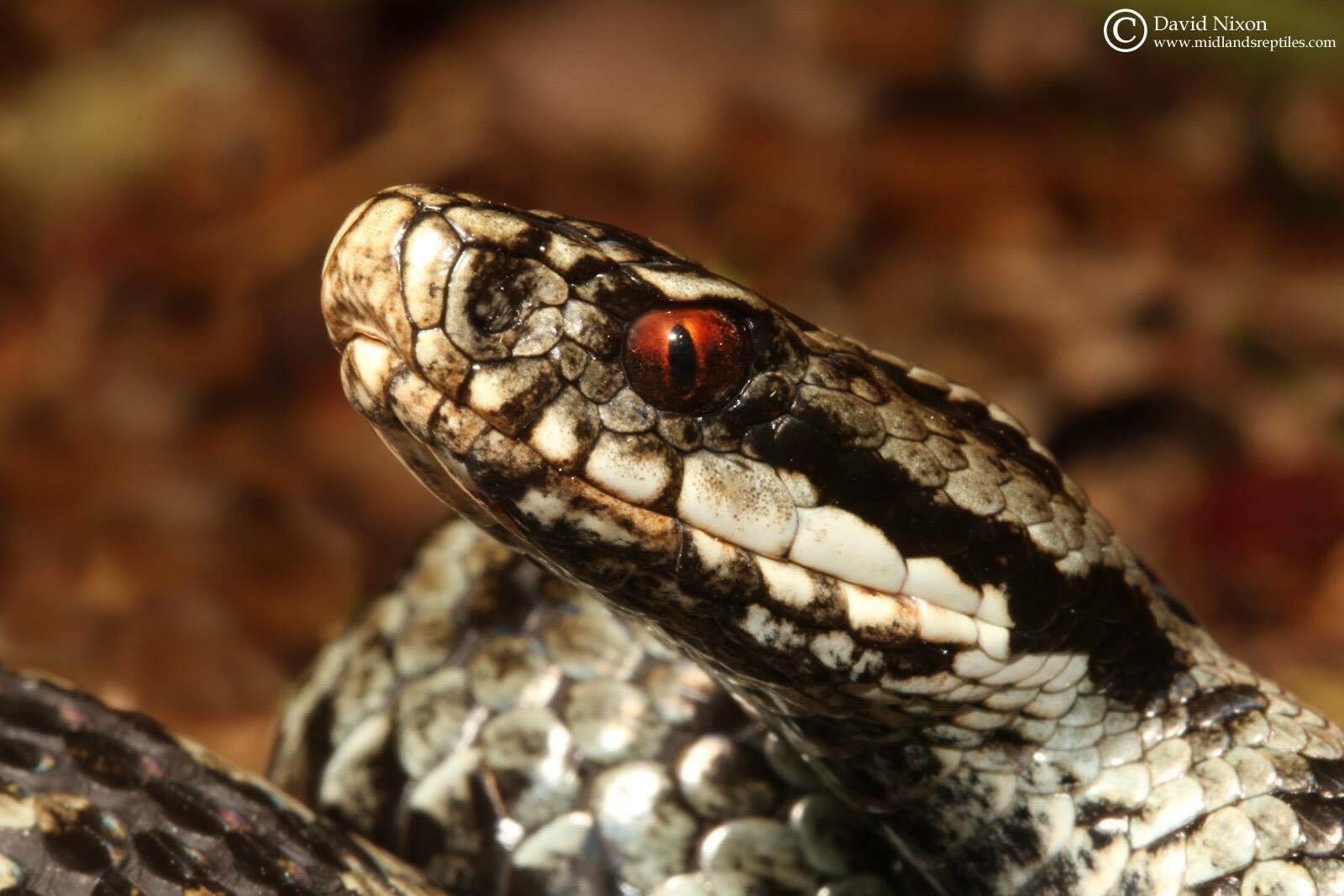 Adder Reptile Surveys