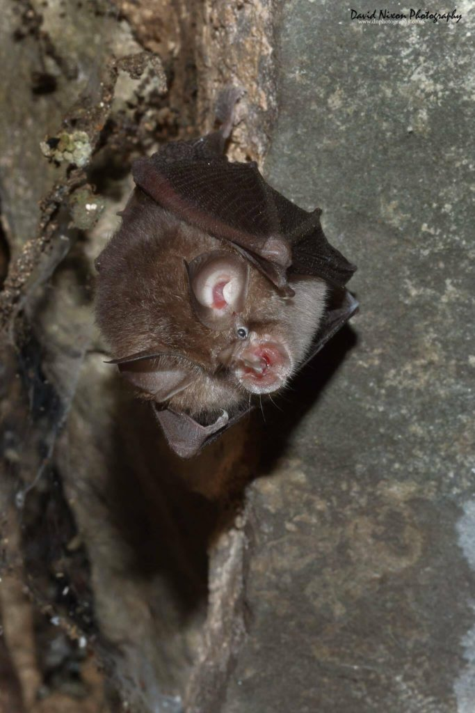 Lesser Horseshoe Bat Survey