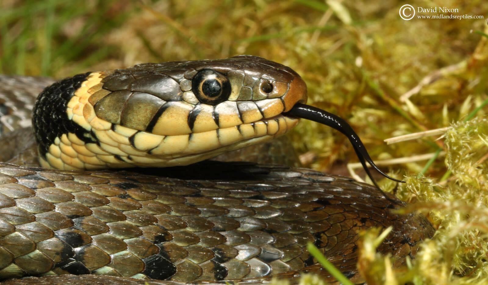 grass-snake-2