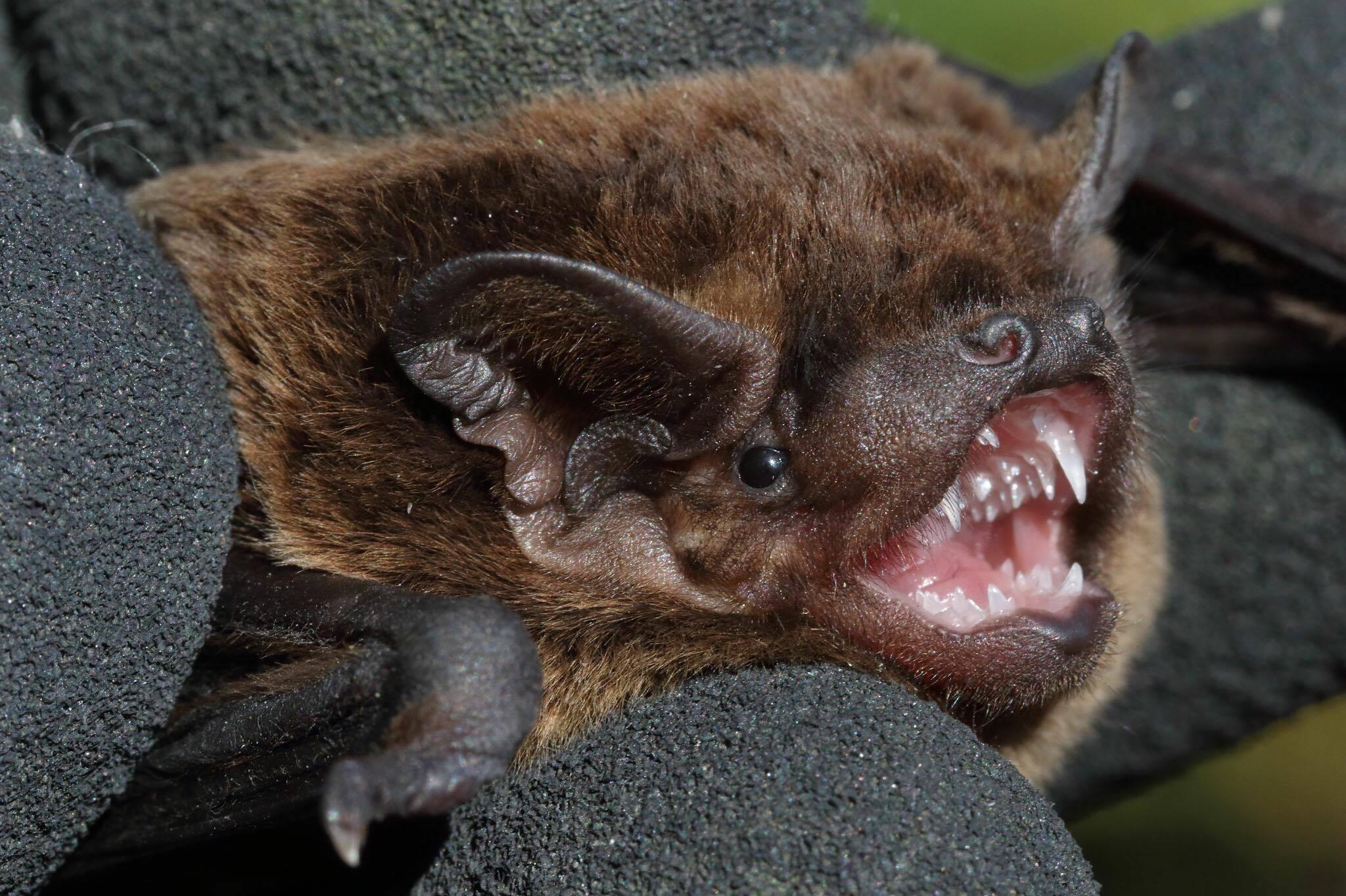leislers-bat